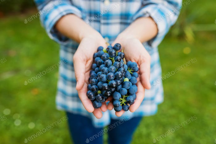 Hands of unrecognizable woman holding bunch of blue grapes