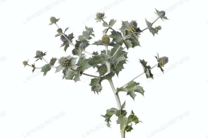 Fresh Sea holly plant