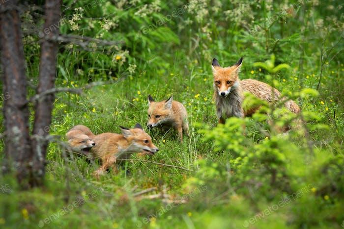 Entzückende Familie von rotem Fuchs auf dem Spaziergang durch den Wald im Frühjahr