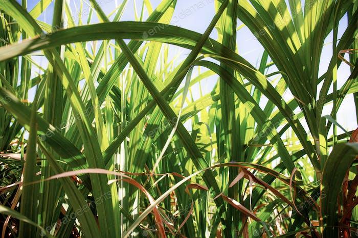 Blätter von Zuckerrohr bei Sonnenlicht