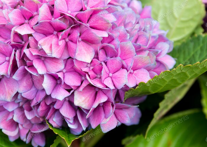 Tender hydrangea purple flower