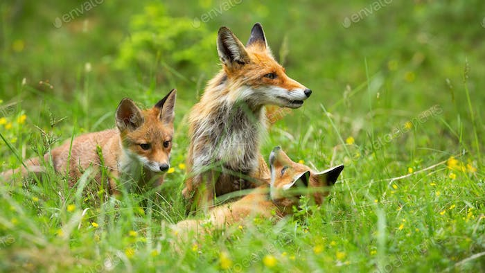 Lovable red fox family playing in the high grass on the forest clearing
