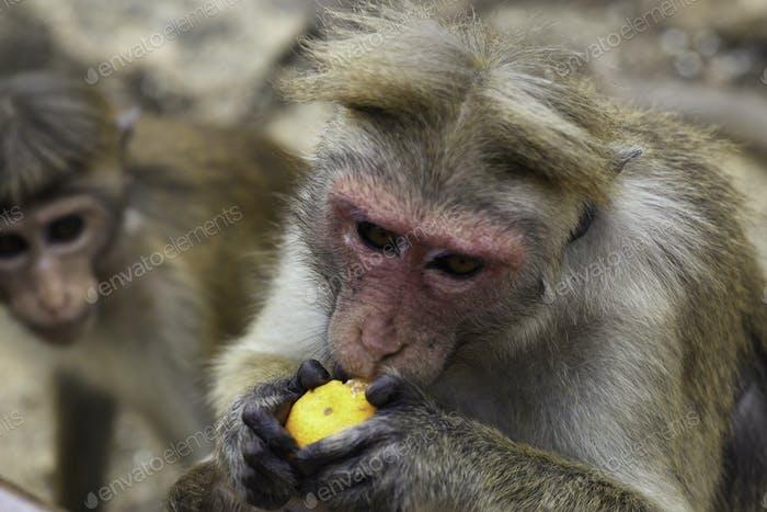 Sri-Lankan toque macaque or Macaca sinica