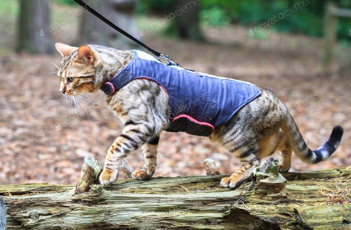 Bengal Cat in a Harness in England