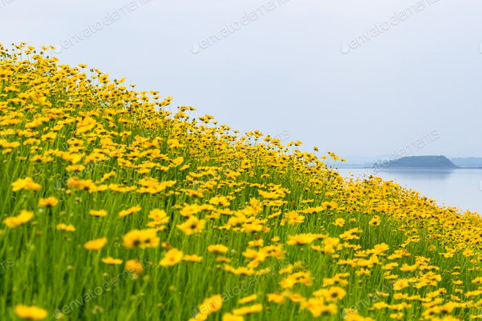 coreopsis flowers bloom by lakeside
