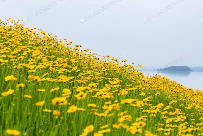 coreopsis Blumen blühen am See