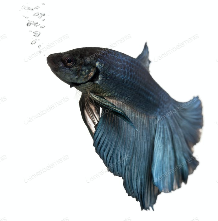 Blue Siamese fighting fish, Betta Splendens, swimming in front of white background