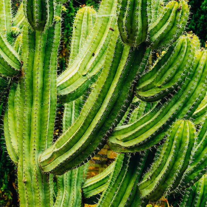 Cactus background. Cacti lover. Canary island