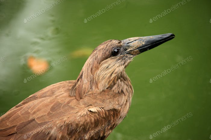 Hammerkop - African Wildlife