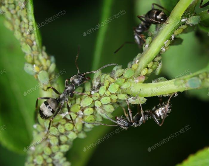 Ants tending aphids macro