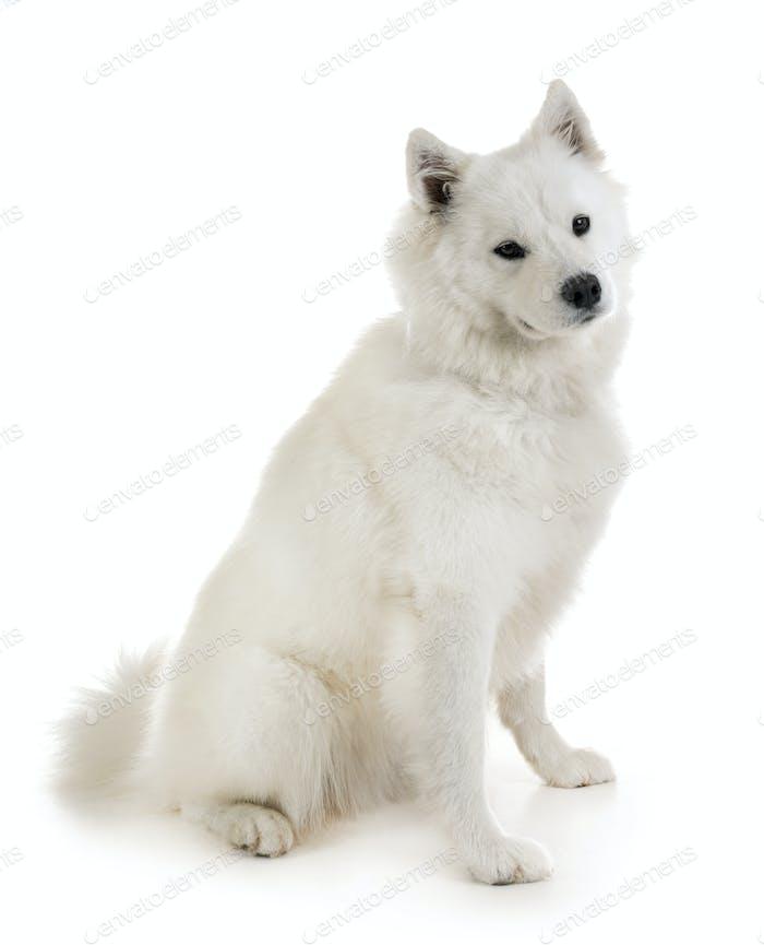 Download 53 Samoyed Dog Photos Envato Elements