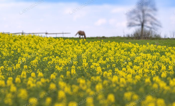 yellow rapes flowers