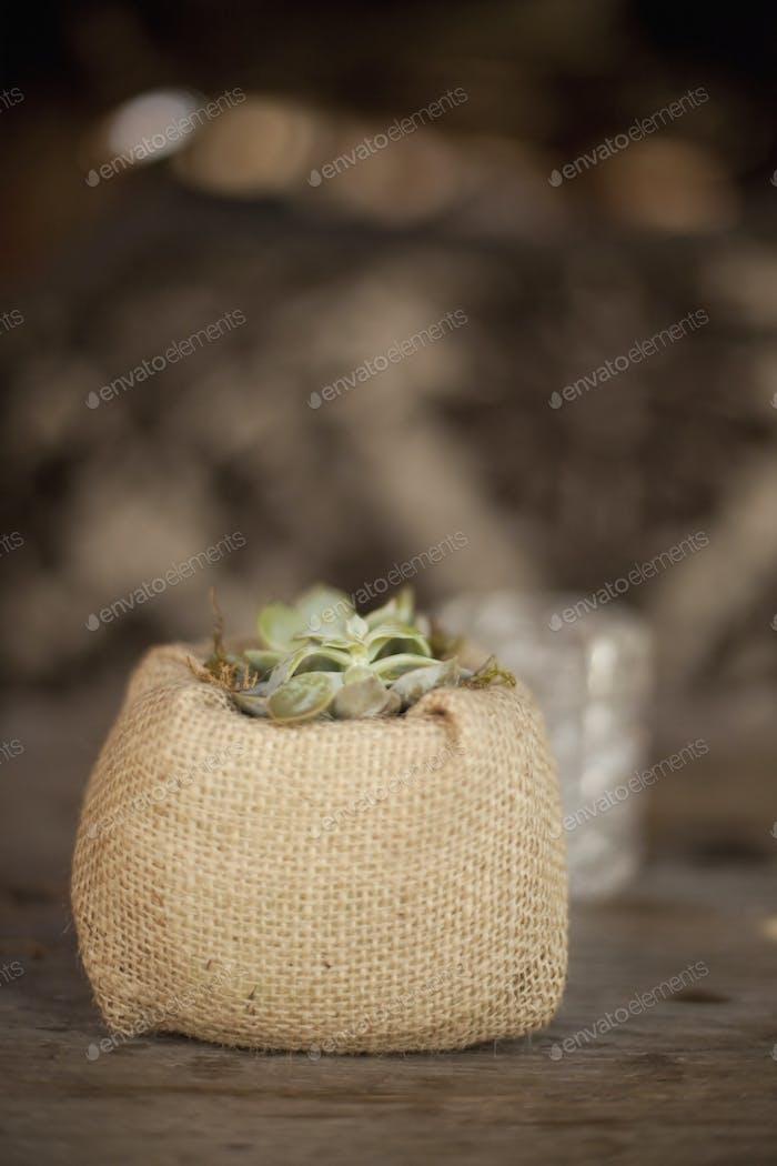 Eine kleine Sukkulente Pflanze in einem Behälter mit Sackleinen bedeckt, auf einem Esstisch.
