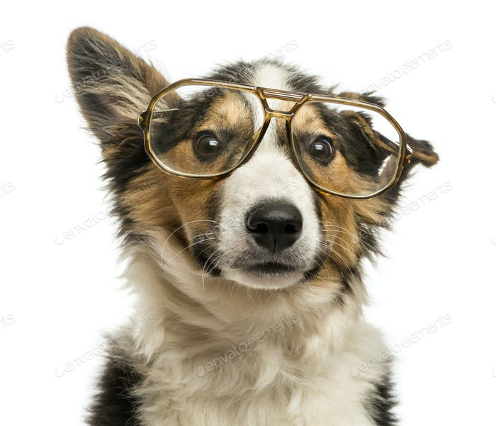 Close-up of a Border collie with old fashioned glasses, isolated on white