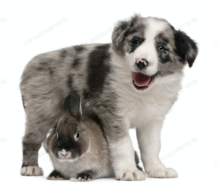 Blue Merle Border Collie puppy, 6 weeks old, and a rabbit in front of white background
