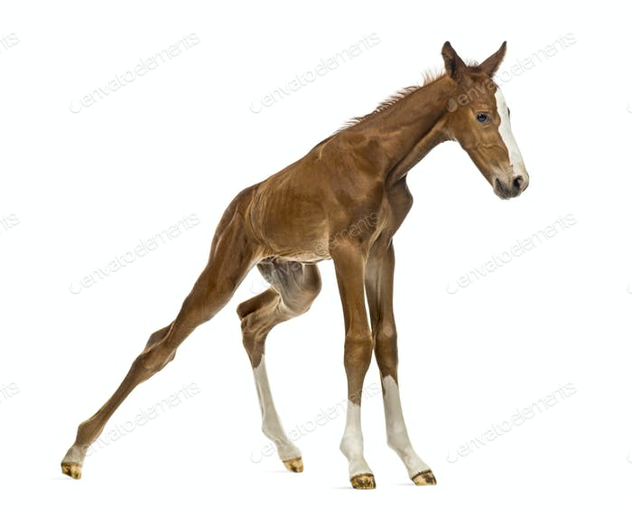 Foal standing up and balancing isolated on white
