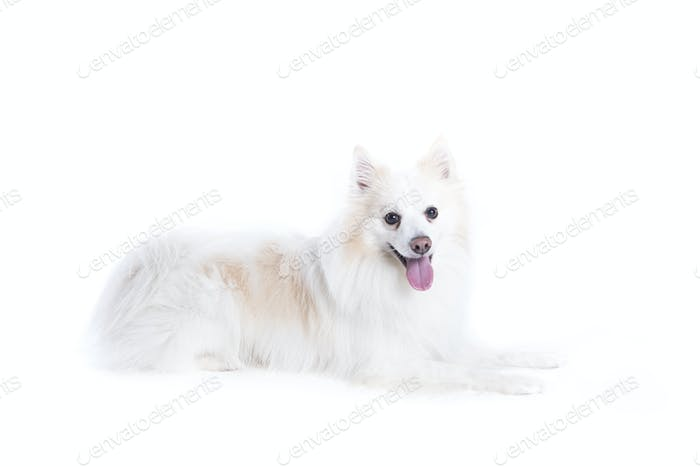 isolated portrait of a german spitz lying down