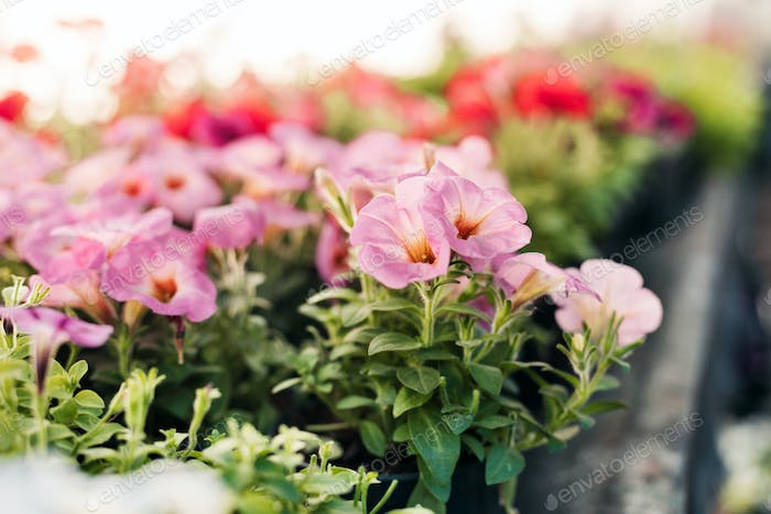 Young plants of pink petunias in pots, a greenhouse with seedlings of flowers