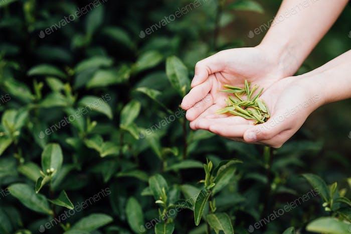 Picking tea leaves in tea garden