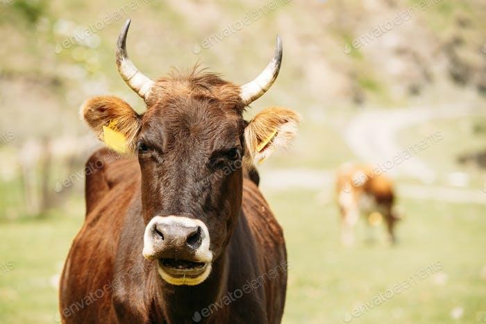 Nahaufnahme von Lustige Rote Kuh In Wiese Oder Feld