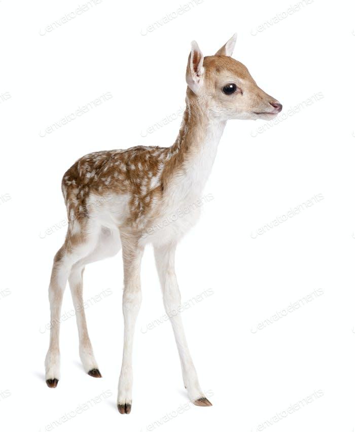 Fallow Deer Fawn - Dama dama (5 days old)