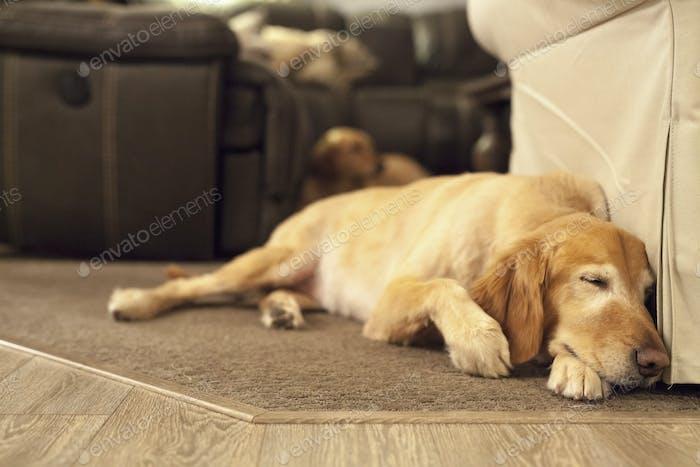 Un perro labrador acostado en una alfombra de hogar.