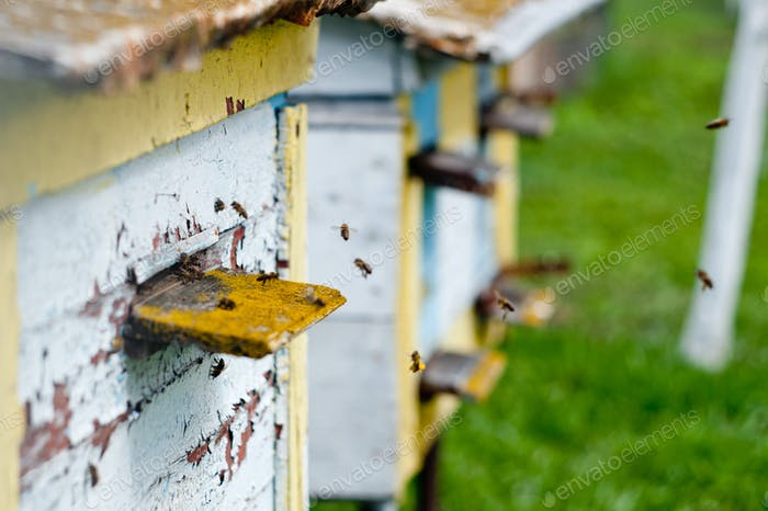 Bees fly around the hive