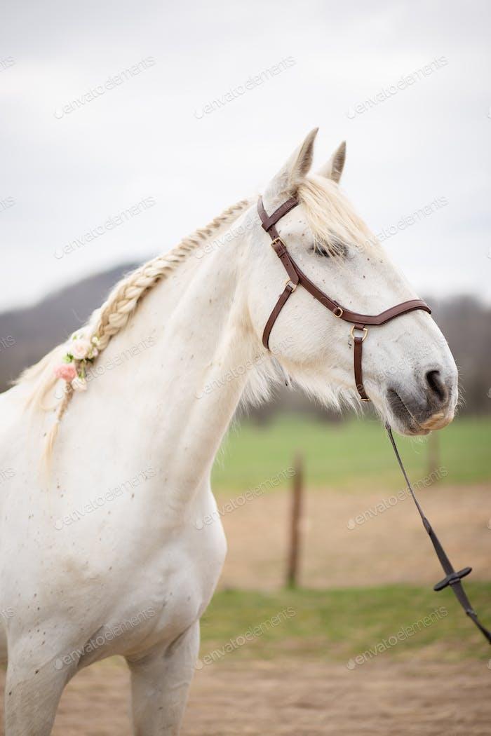 Beautiful white horse portrait