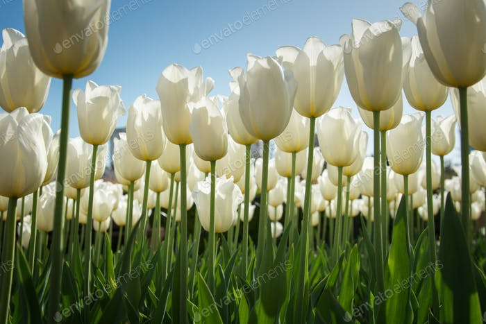 White high tulips in green foliage