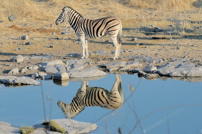Reflexión de cebra
