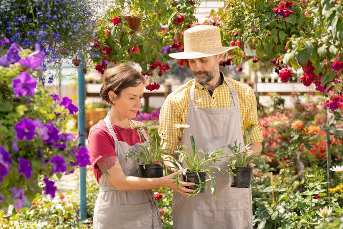 Mature gardener showing colleague several new sorts of garden flowers in pots