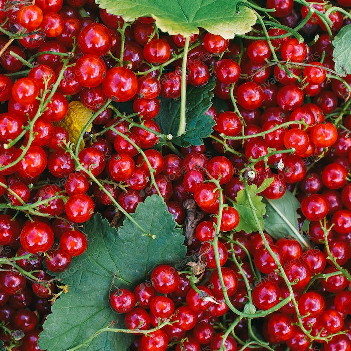 Red currant Fresh vitamins bio life style