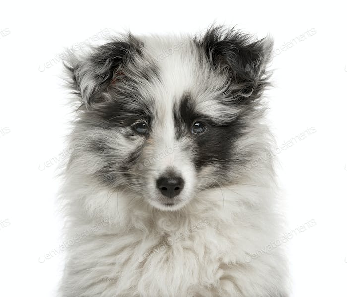 Close-up of a Shetland Sheepdog puppy in front of a white background