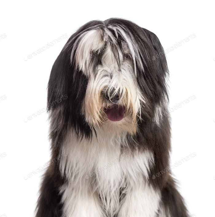 Bearded Collie looking at camera against white background