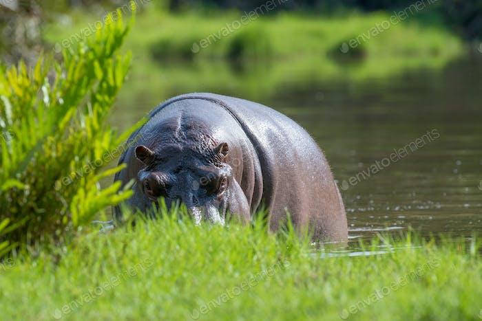 Hippo (Hippopotamus amphibius) in the river