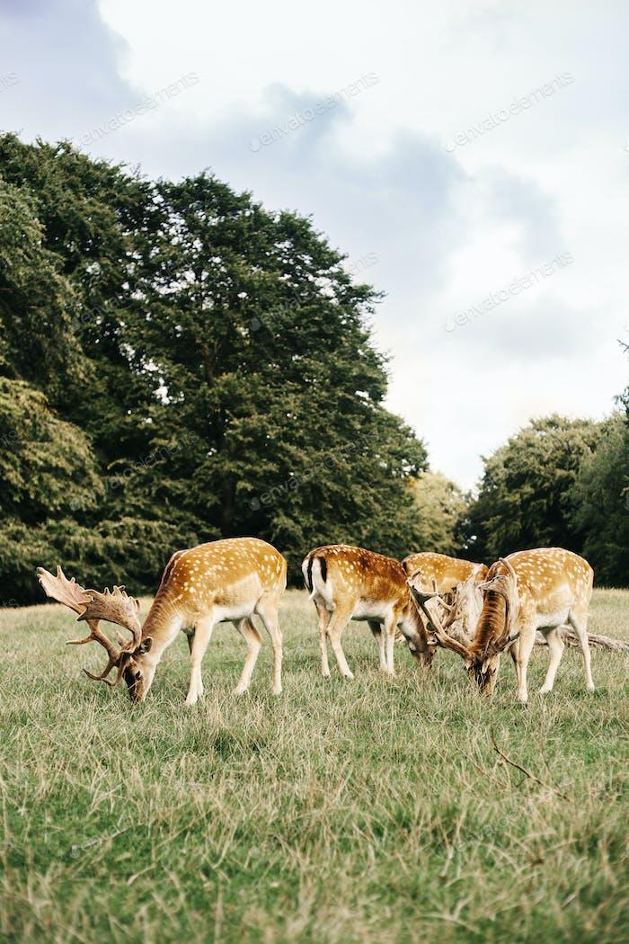 Herd of deer grazing on field