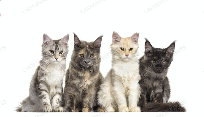 Group of maine Coon cats sitting in a raw, cut out