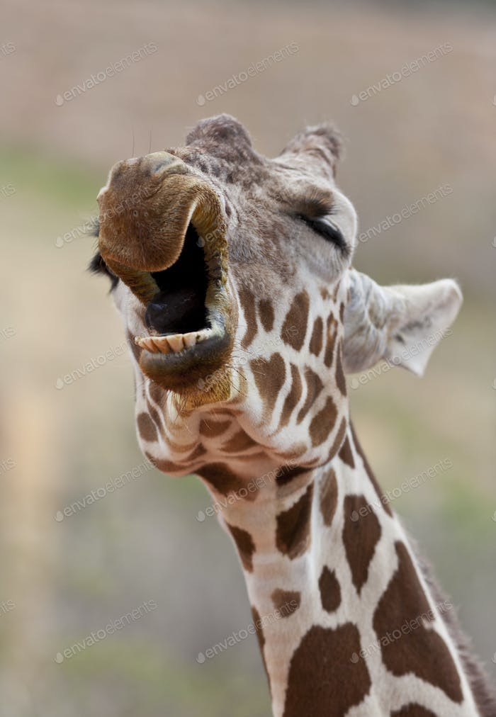 Giraffe Yawning