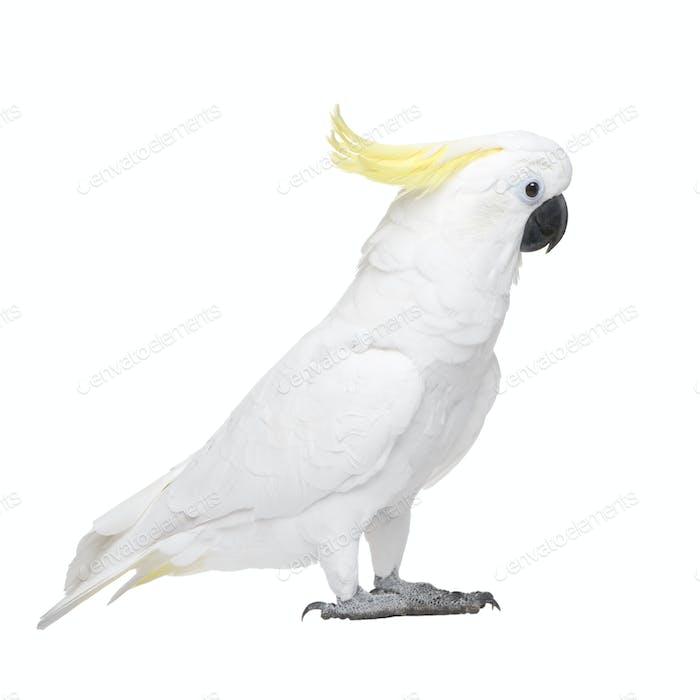 Sulphur-crested Cockatoo (22 years) - Cacatua galerita