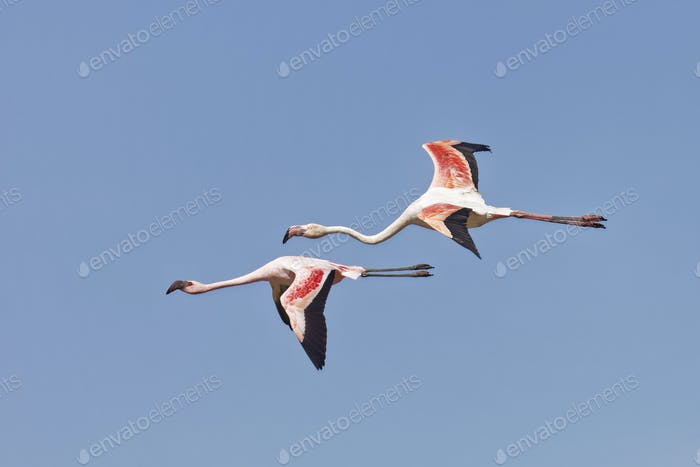 Phoeniconaias minor, Lesser Flamingo and  Phoenicopterus roseus,	Greater Flamingo