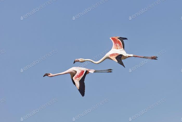 Phoeniconaias minor, Lesser Flamingo and  Phoenicopterus roseus,Greater Flamingo