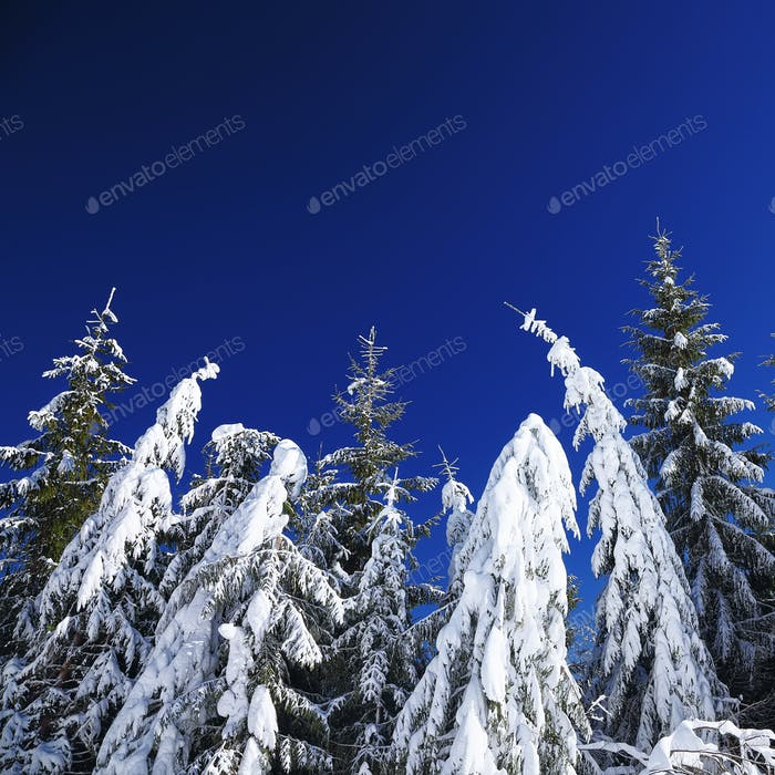 Winter snow covered fir trees on mountainside on blue sky with s