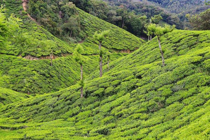 Tea plantations between Yellapatty and Top station in Munnar, Kerala, India