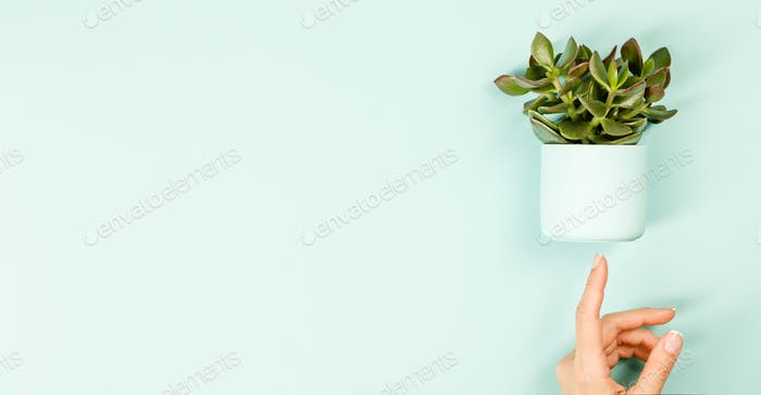 Succulent on blue background. Flat lay, copy space