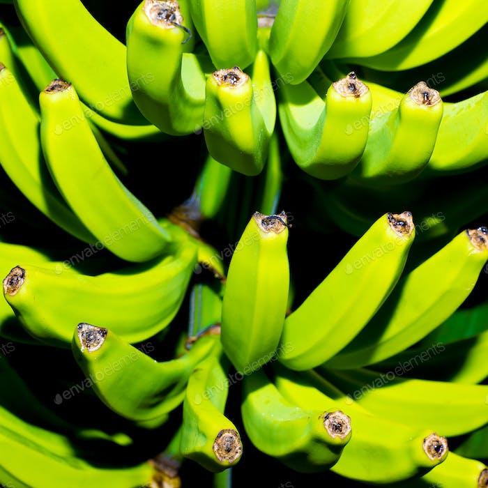 Green bananas on the tree. Minimal art