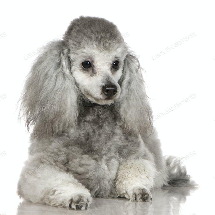 Poodle (13 months)