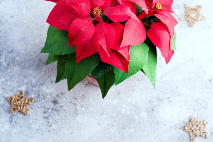 Christmas flower poinsettia on light stone background with gold stars