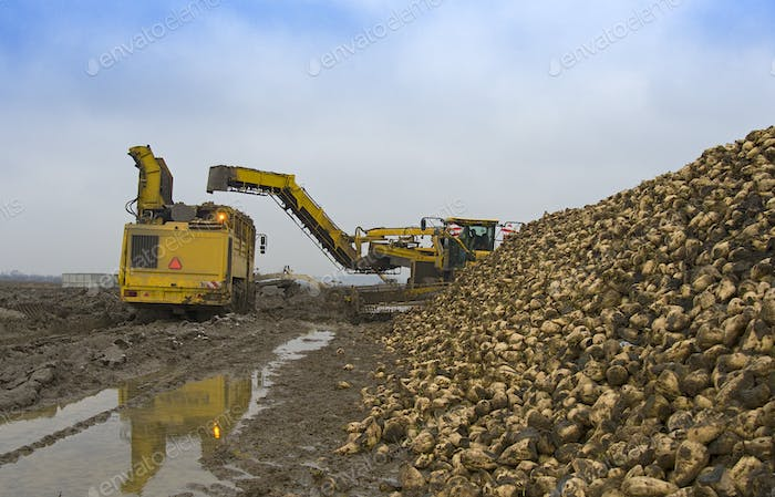 harvesting sugar beets