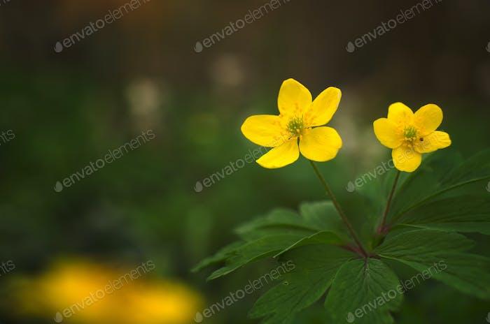 Adonis vernalis gelbe Wildblume