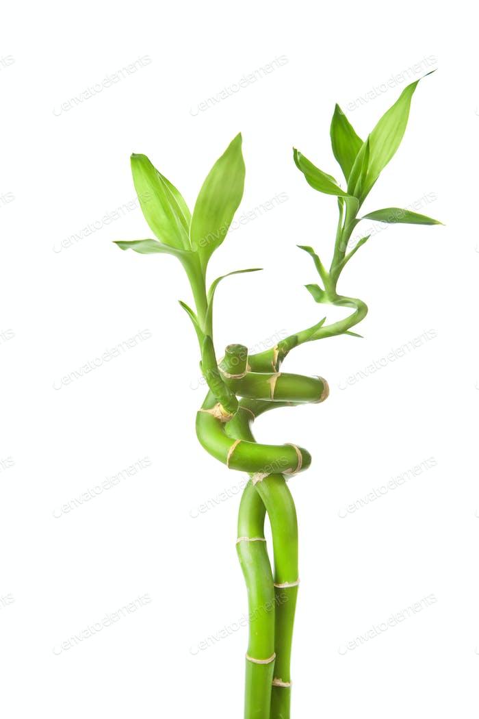 Bambus isoliert